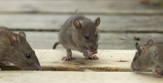 How to Control Rodents Without the Use of Chemicals?