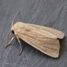 View Photo: Earthy coloured House Moth (Hofmannophila pseudospretella)