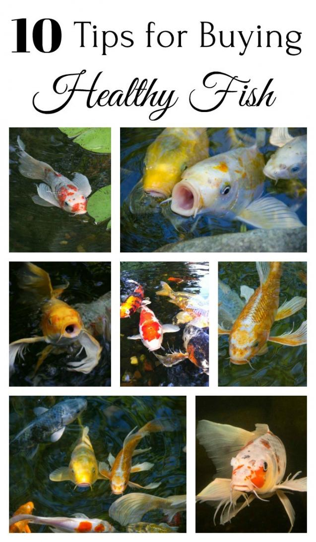 Read Article: 10 Tips For Buying Healthy Fish For Your Backyard Pond