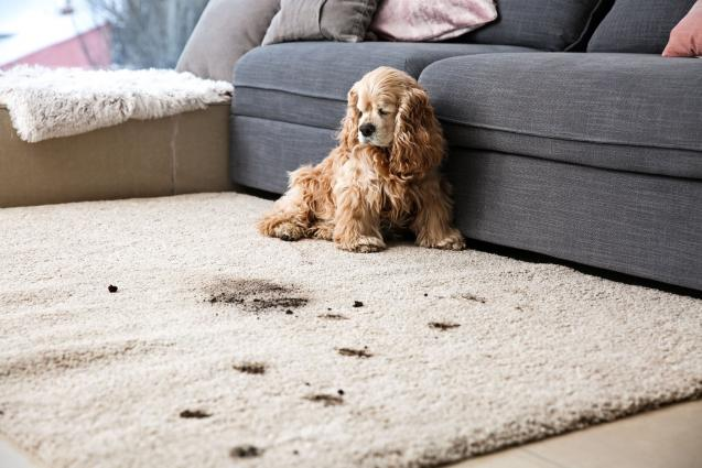Read Article: How To Remove Pet Stains From Your Expensive Carpet