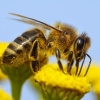 Bee control Perth