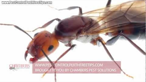 Watch Video: Ant Pest Control Perth - Treating Specific Species
