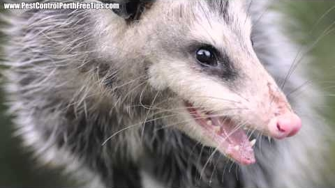 Watch Video: Possum Removal Perth
