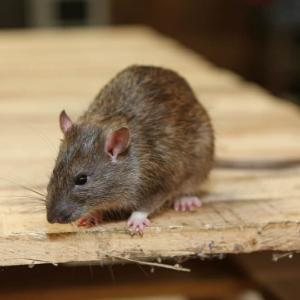 View Photo: RODENTS CONTROL