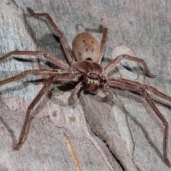 View Photo: Huntsman Spider (Sparassidae fm.)