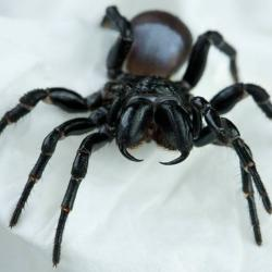 View Photo: Mouse Spider (Missulena sp.)