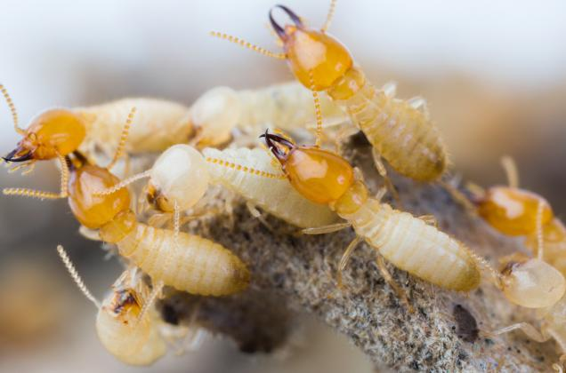 Read Article: Get Termite Control Pakenham to Protect Your Largest Investment
