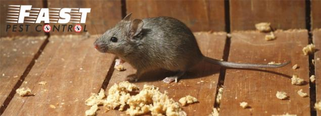 Rodent Removal Tips to Enhance Hygiene at Home