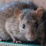 Genius Tips to Control Rodents at Your Home