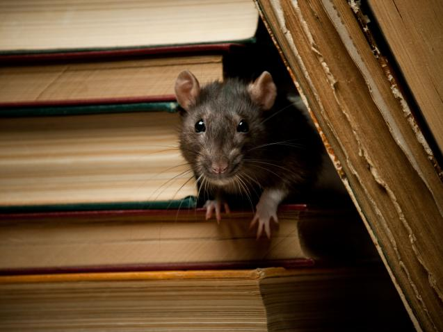 Read Article: How to Prevent Rats From Coming Inside the House