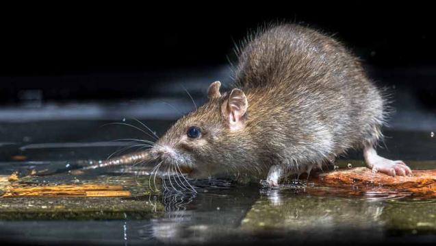 How Rats & Rodents Negatively Affect Your Home & Business