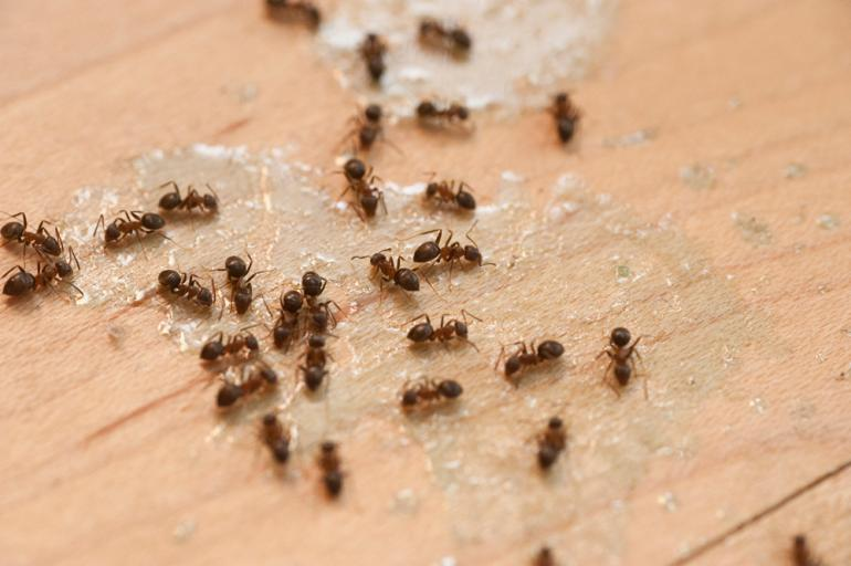 View Photo: Ants Pest Control