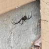 Bird Eater Spider