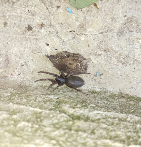 View Photo: Black house Spider