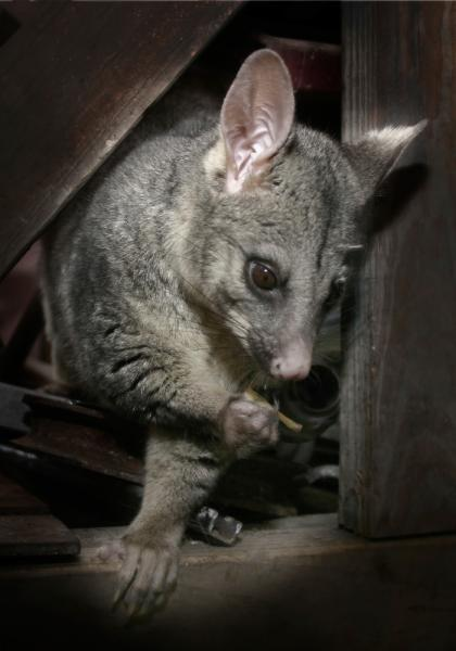 View Photo: Brushtail Possum
