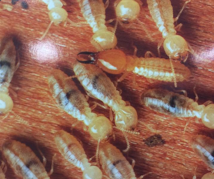 View Photo: Copto Termites