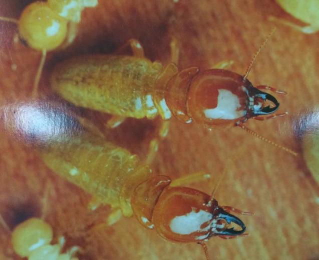View Photo: Masto Termites