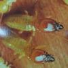 Masto Termites
