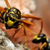 The Common Wasps